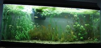 native aquatic plants native fish for a high tech planted tank native plants nanfa