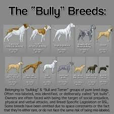 l american pitbull terrier a p b t 49 best animals show dogs images on pinterest american pitbull
