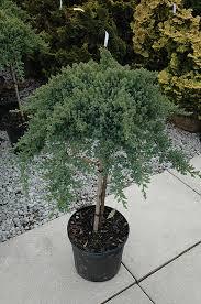 japanese garden juniper tree form juniperus procumbens