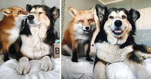 Pet Pet Fox Becomes Best Friends With A Dog Bored Panda