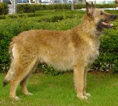 belgian shepherd health problems belgian shepherd laekenois dogs breeds pets