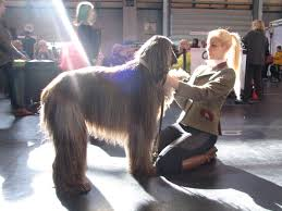 afghan hound attack discussion what dog breeds do you feel are misunderstood or have