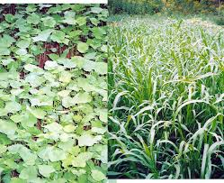 how cover crops suppress weeds extension
