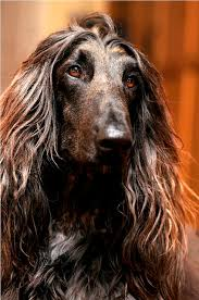 afghan hound judith light 812 best dogs i love images on pinterest animals dogs and afghans