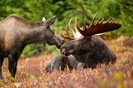free picture moose animal pair bull cow moose