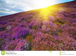 Flowers By Violet - colorful hill slope covered by violet heather flowers stock photo