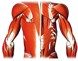 How To Palpate Subscapularis Subscapularis Origin Insertion Nerve Supply Action And
