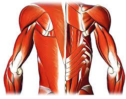 Subscapularis And Supraspinatus Subscapularis Origin Insertion Nerve Supply Action And