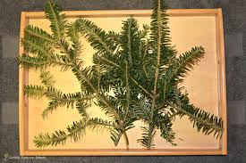 fir tree learn discover christian montessori network