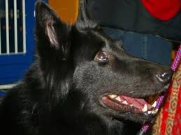 belgian sheepdog guard dog belgian sheepdogs belgian sheepdog breed info u0026 pictures petmd