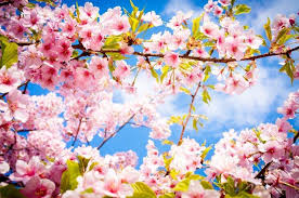 cherry flowers wallpapers photography flowers cherry blossom wallpapers hd desktop and