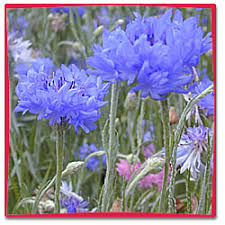 Bachelor Buttons Flower Dictionary Bachelor Buttons
