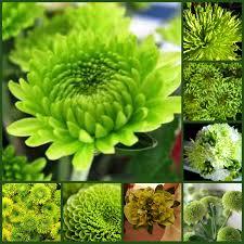 green flowers 40 green flowers names of green flowers types