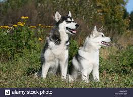 dog siberian husky two adults sitting in a meadow stock photo