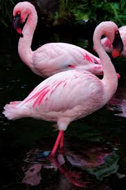 reflections of beauty pink flamingos