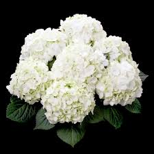hydrangea white hydrangea tea time white