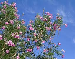 chilopsis linearis desert willow small native tree for san