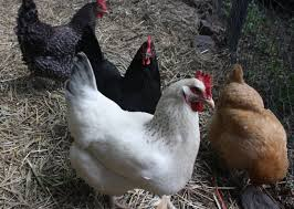 backyard chickens in philly renegade poultry farmer speaks out