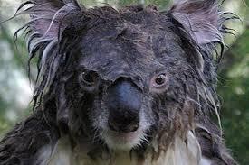 Angry Koala Meme - is what a wet koala looks like