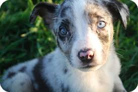 australian shepherd border collie kole adopted puppy parker co border collie australian