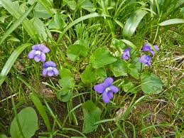 plants native to illinois viola sororia wikipedia