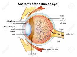Human Ear Anatomy Quiz Eye And Ear Anatomy Anatomy And Physiology Ii Test Iii Proprofs