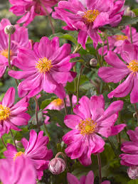 anemones flowers anemone perennials anemones for sale flowers