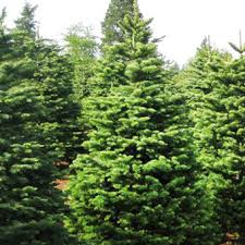 noble fir pinery trees