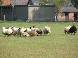 belgian sheepdog agility 65 best laekenois images on pinterest belgian shepherd belgian