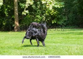 belgian sheepdog agility belgian shepherd groenendael stock images royalty free images