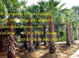 palm tree nursery suppliers dubai uae