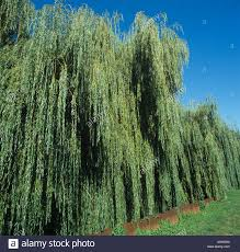 weeping willow salix babylonica large trees in full leaf france