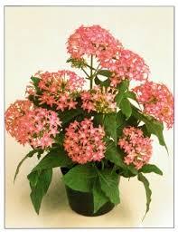 Pentas Flower Star Cluster U2013 Pentas Lanceolata