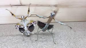 Mantis Meme - praying mantis dance youtube