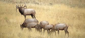 the 12 best cartridges for elk hunting field u0026 stream