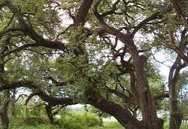 rally to save the trees of oak hill this saturday hill country
