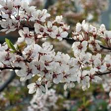 prunus cerasifera hessei buy flowering cherry plum tree
