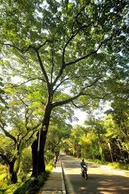 the trees that line up memories of the philippines