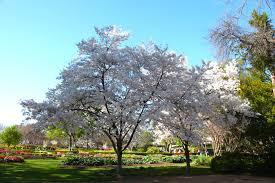cherry trees grace the dallas arboretum dallas arboretum and
