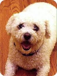 bichon frise dogs for adoption brooklyn ny bichon frise meet dolce a dog for adoption http