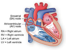 Anatomy Of Human Heart Pdf The Conduction System Texas Heart Institute Heart Information Center