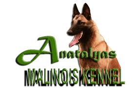 belgian shepherd nz australian ipo working dog breeders and malinois breeders