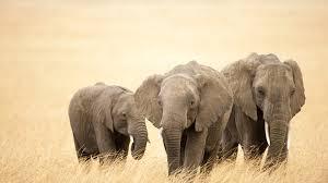 baby elephant wallpaper wallpaper