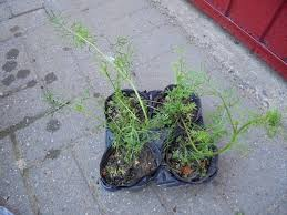 plants for sale four small pots of nigella plants in north