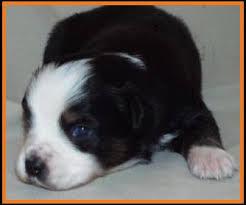 australian shepherd 3 weeks old ghost eye mini aussie avail xmas 2014 litter 7 pup3 jessie blue