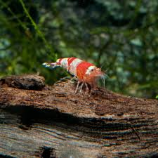 freshwater shrimp for aquariums petsolutions