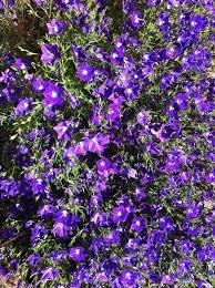 blue and purple flowers purple flowers yellow center bushy plant pic flowers forums