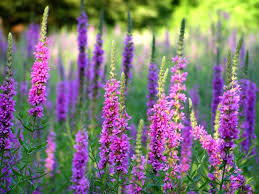 bc native plants purple loosestrife invasive species council of british columbia