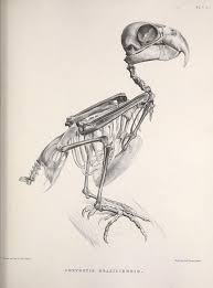 107 best skeletons of birds images on pinterest skeletons bird