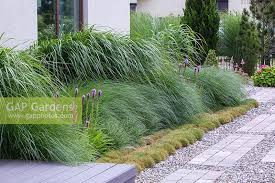 gap gardens ornamental grass border planted with miscanthus